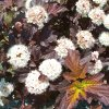 Physocarpus Center Glow